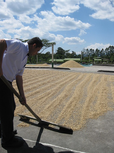 Melvin turning coffee beans in the sun