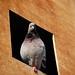 Parisian Pigeon