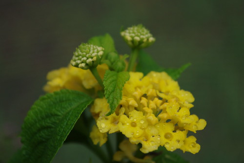 nugget imperial lantana