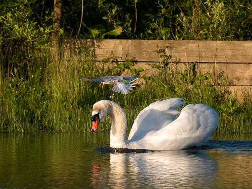 Swan-harassment