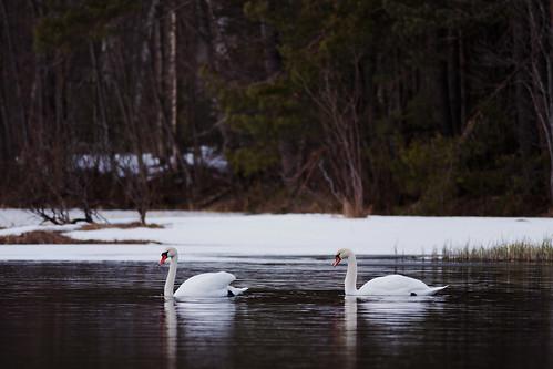 Mute Swans by Isoscelez