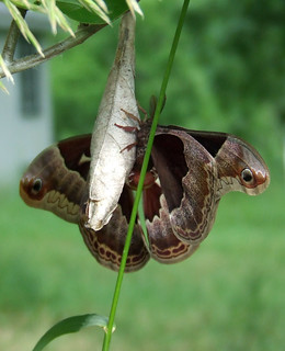 mating promethea moths