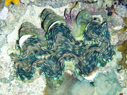 Squamosa Clam from above