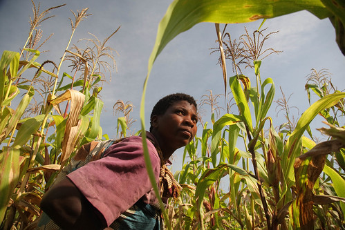 A Malawian woman works in her maize field. We need to close the gender gap in agriculture to boost Africa's agricultural productivity (photo credit: ILRI/Stevie Mann).