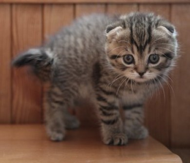 Scottish Fold kitten - Who are you?