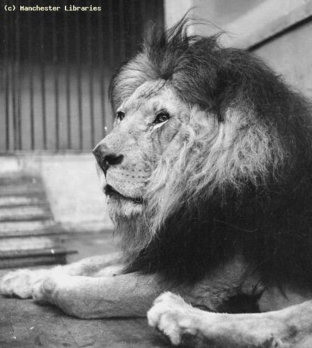 Lion at Belle Vue Zoological Gardens, 1946