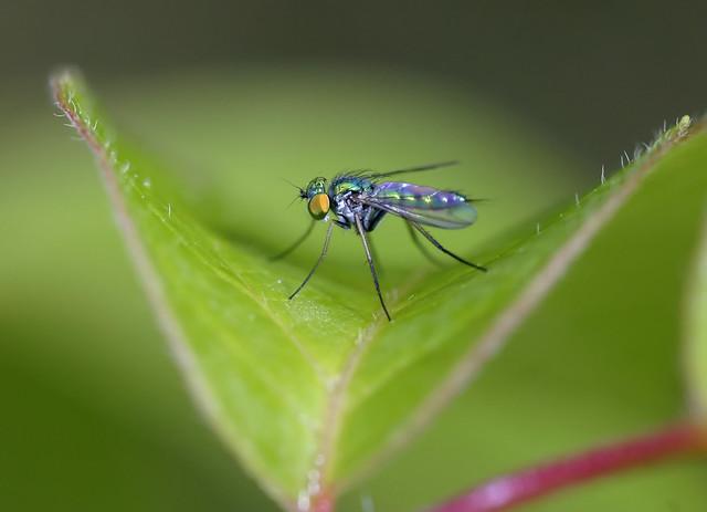 Habituated Dolichopodid Fly