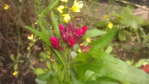 Wallflower 'Ruby Gem' about to bloom.