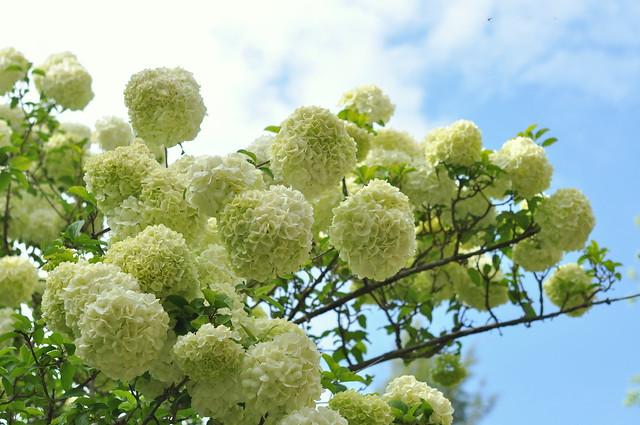 Chinese snowball viburnum