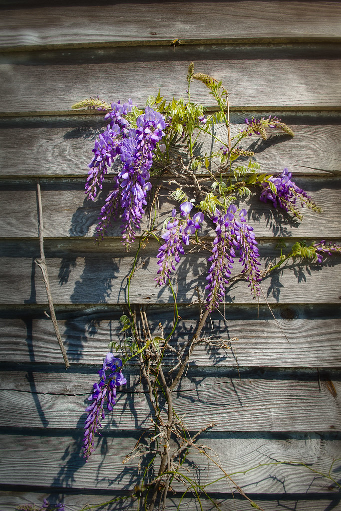 Working the Wisteria