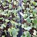 Kale in its infancy
