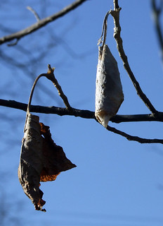 giant silkworm moth cocoons in a tulip tree