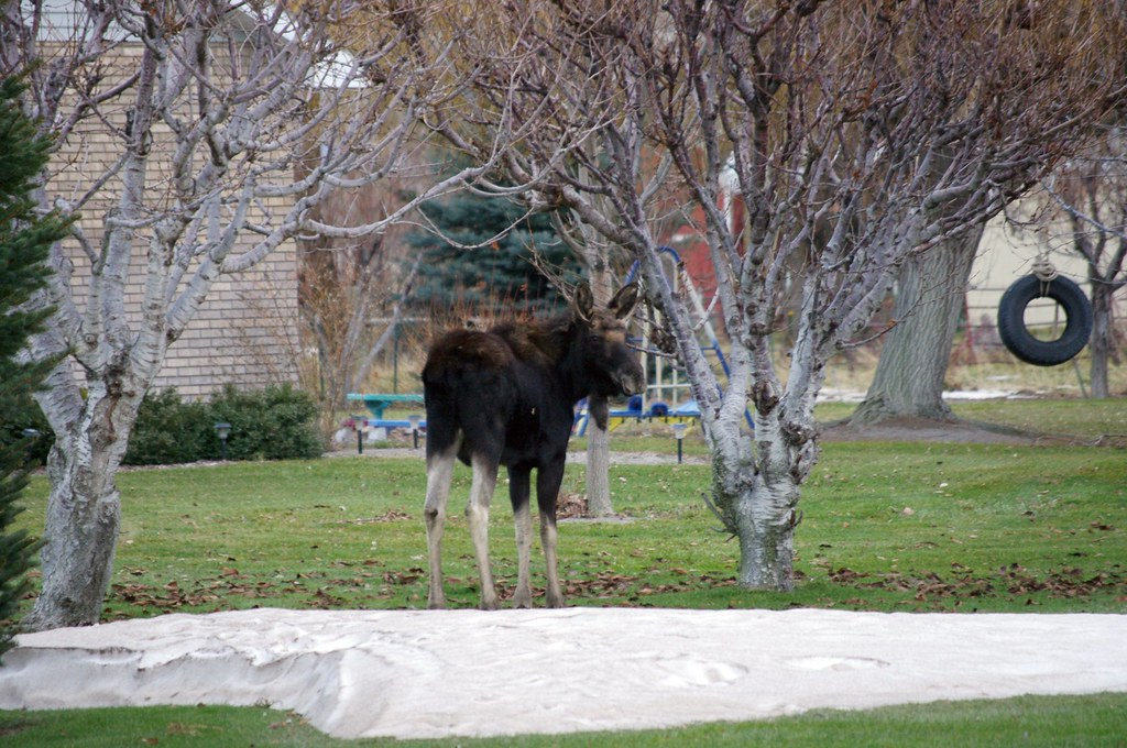 1 year old moose between houses in a neighborhood with a small drift of snow in the foreground