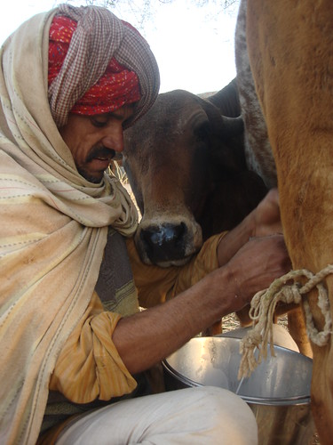 Morning milking in Rajasthan, India