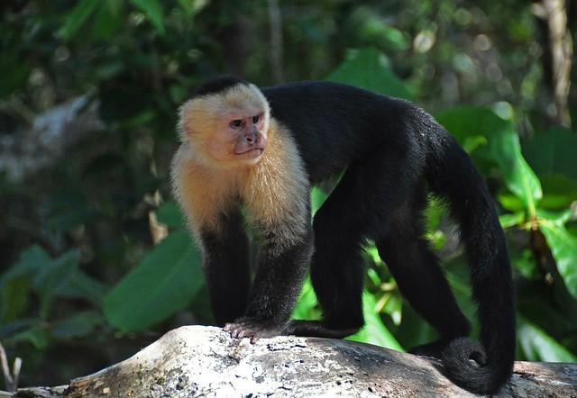 Capuchin monkey, Manuel Antonio National Park