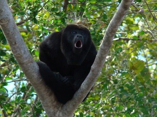 Howler Monkey Southern Costa Rica Wildlife