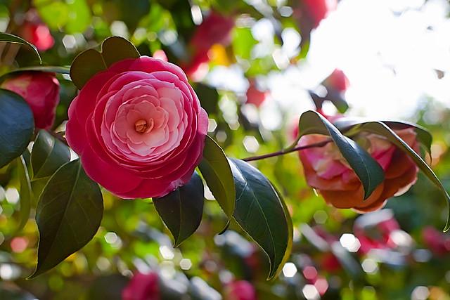 Camellia japonica M.me Pépin