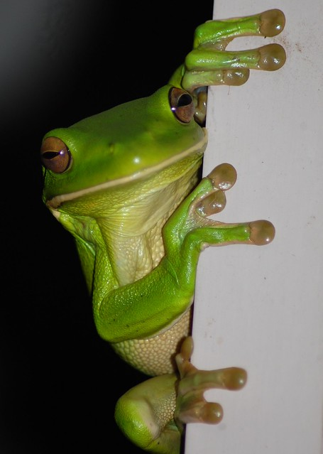 green tree frog friend