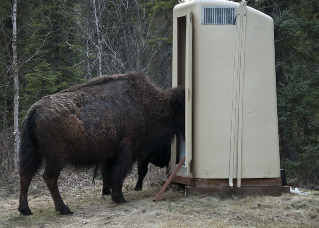 Of Course There Is A Bison In The Outhouse