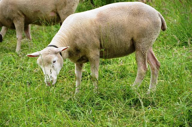 Sheep in Feldbrunnen