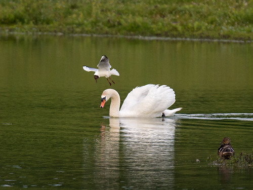 Mute Swan-attacked