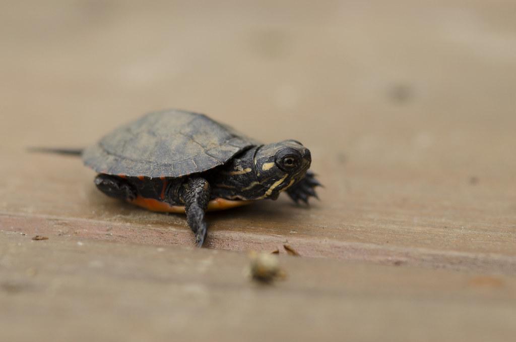 baby turtle 2