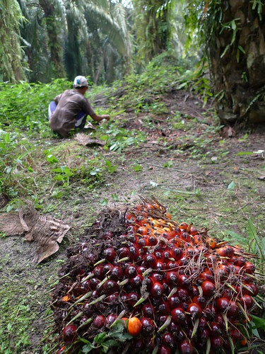 Oil palm: worker and fresh fruits
