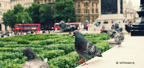 le pigeon de Trafalgar