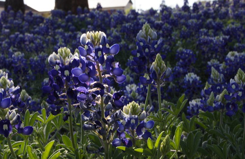 82/365 - Spring in Texas (bluebonnets are here) by s.kat130