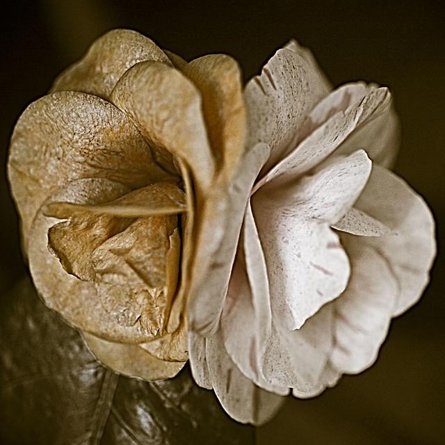 Camellia japonica Bonardi
