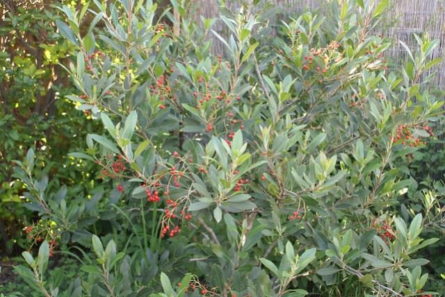 Toyon Berries, Heteromeles arbutifolia