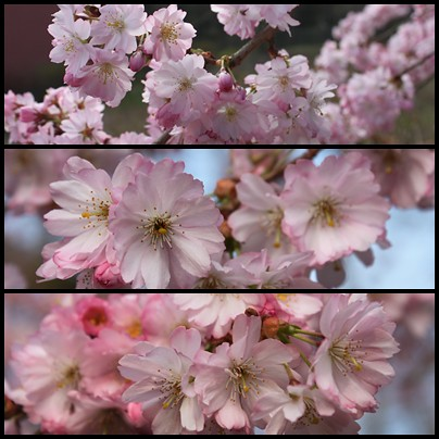 page-cherry-blossom