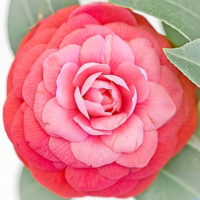 Camellia japonica Vincenza De Vecchio