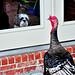 turkey in my window
