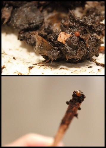 20120407. Worm cocoon.