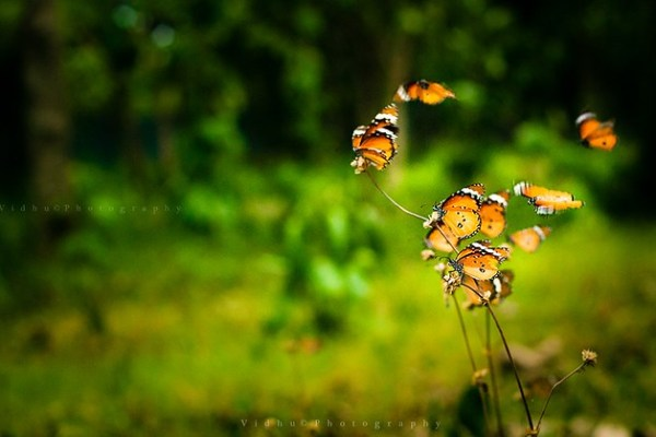 photograph of flying butterflies