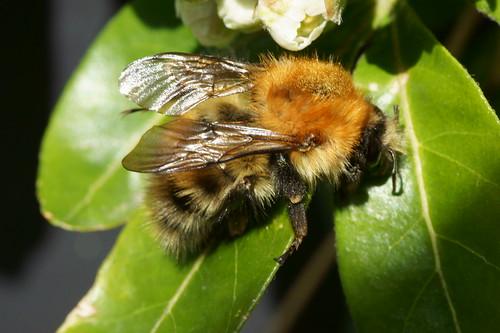 Common carder bee (Bombus Pascuorum)