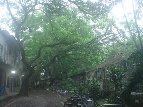 NTU老榕樹2