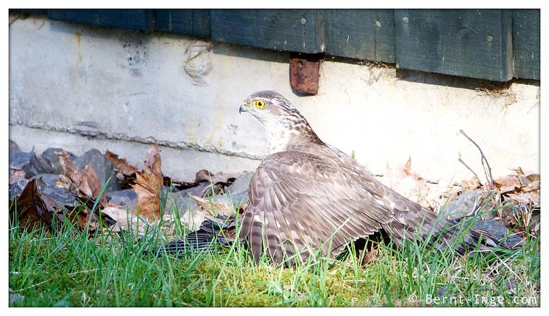 Sparrow Hawk / Spurvehauk