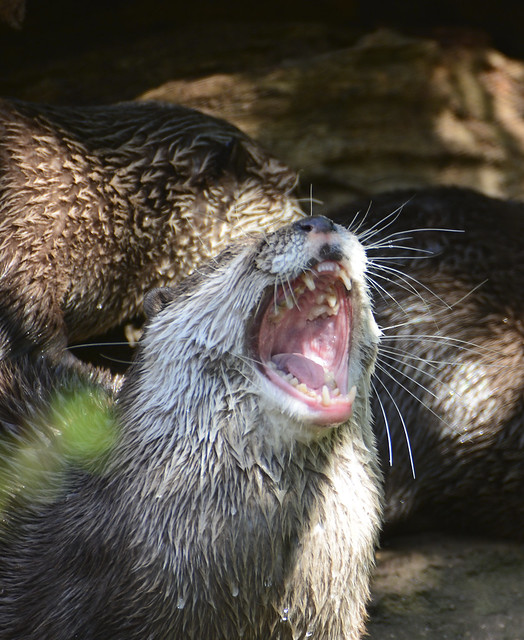 river otter with its mouth very wide open. Other otters can be seen in the background