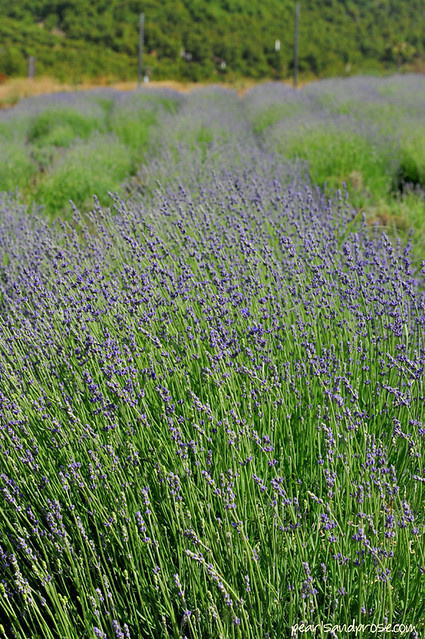 lavender_fields_rows_web