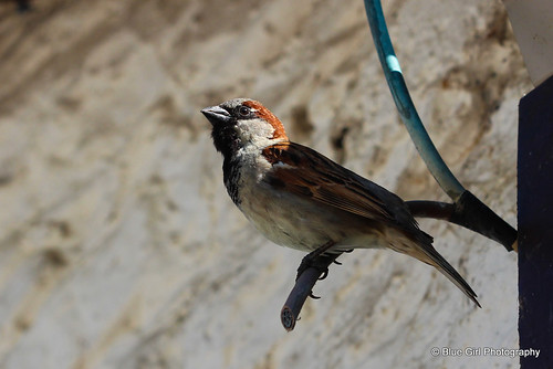 House Sparrow by suzypud