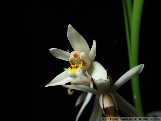 1418 - Coelogyne graminifolia