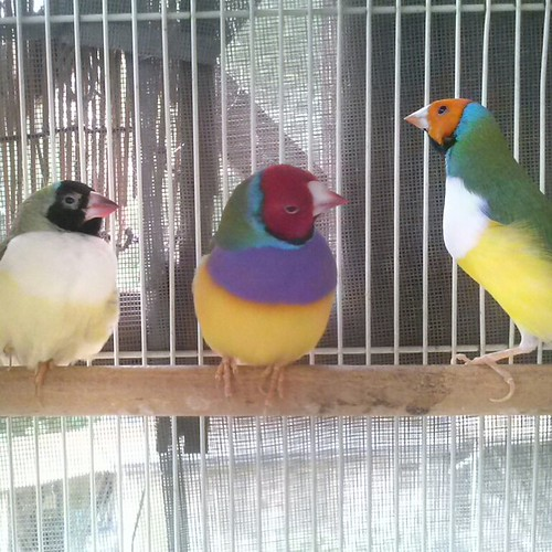 My gouldians, what do they think? by lovethebees