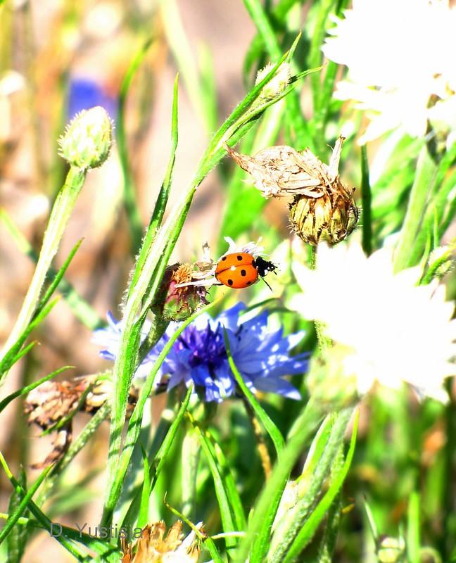 Jumping Ladybug