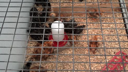 Chicks at Homestead Gardens