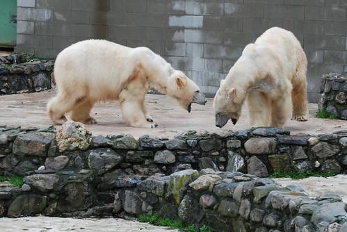 Eisbären Rocky und Blanche in der Monde Sauvage Safari in Aywaille