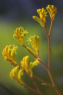 Weekly Photo 23/52 for 2013: Anigozanthos or Bush Nugget Kangaroo Paw by Kristen Koster on Flickr