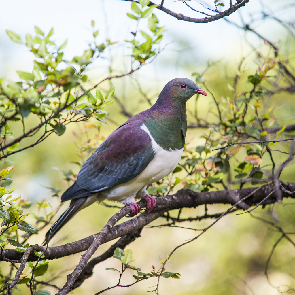 New Zealand Pigeon (Kereru)
