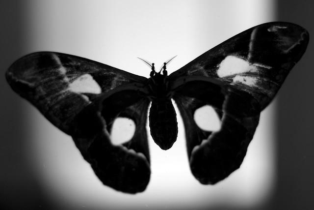 Moth B&W